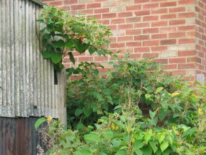Japanese Knotweed removal against a brick building
