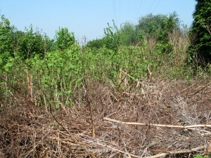 Japanese Knotweed removal -
