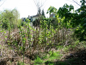 Knotweed behind some houses