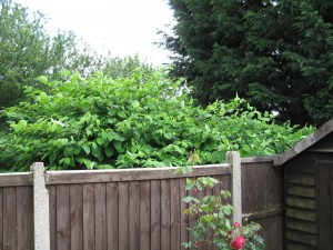 Knotweed against a garden fence