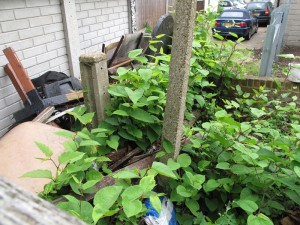 Japanese Knotweed treatment at the homw