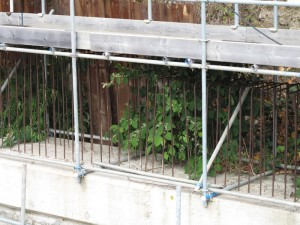 Knotweed in scaffolding