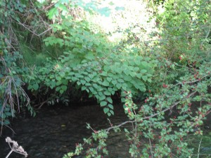 Japanese Knotweed treatment near a river